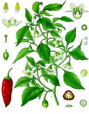 Illustration von Capsicum annuum (PD)
