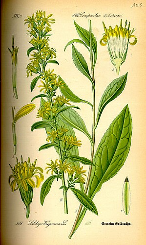 Solidago virgaurea (PD)