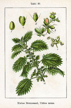 Urtica urens (Illustration von Sturm 1796 PD)