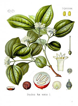 Illustration von Strychnos nux vomica (PD)