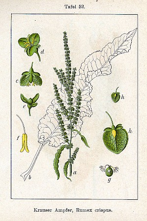 Illustration Rumex Crispus (PD)