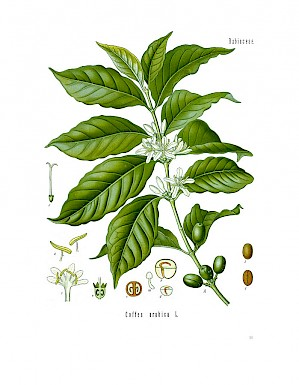 Coffea arabica (PD)
