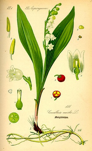 Illustration Convallaria majalis (PD)