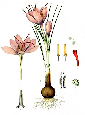 Crocus sativus (PD)