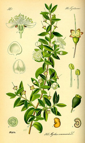 Myrtus communis (Illustration PD)