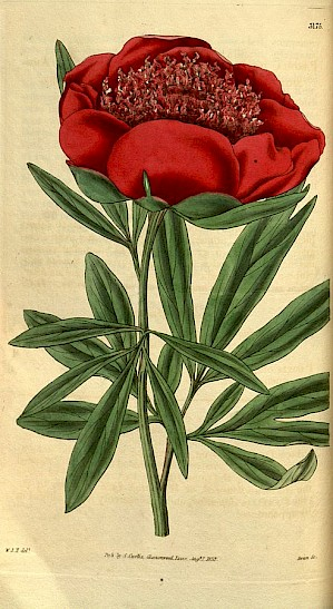 Paeonia officinalis - die Gemeine Pfingstrose (Illustration von 1832 PD)