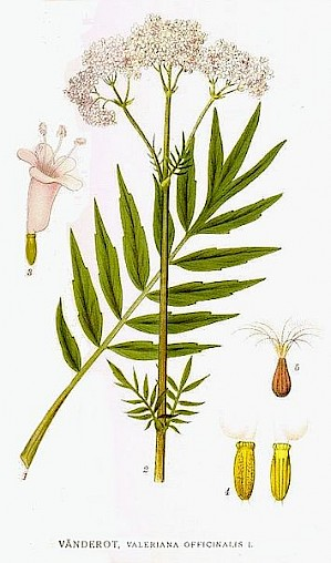 Valeriana Officinalis - Baldrian (PD)